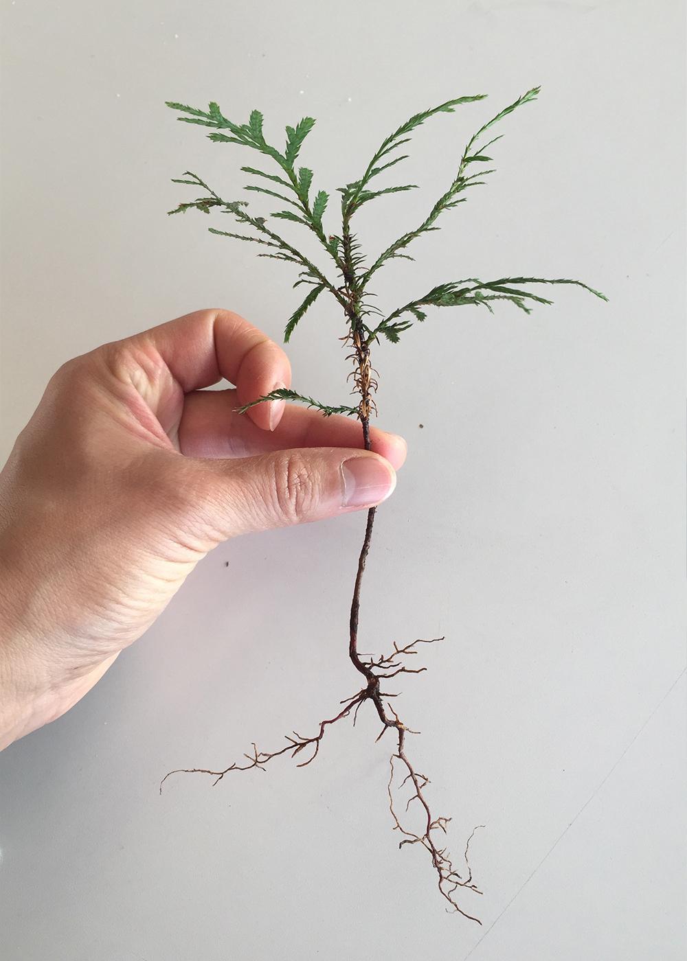 Seedling (Cedar)
